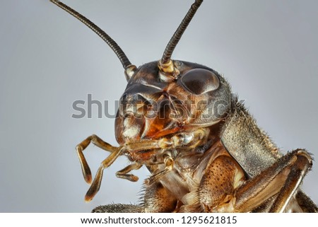 Brown cricket isolated on grey background. Macro close up stacking photo