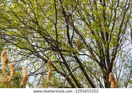 Habitat, breeding habitat, nesting habitat Penduline Tit (Remiz pendulinus). #1295655352