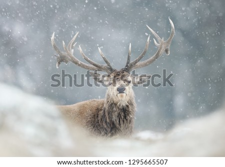 Close-up of a red deer stag in the falling snow, winter in UK. #1295665507