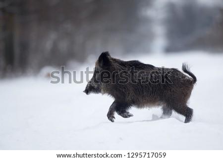Wild boar running on snow in forest. Wildlife in natural habitat #1295717059