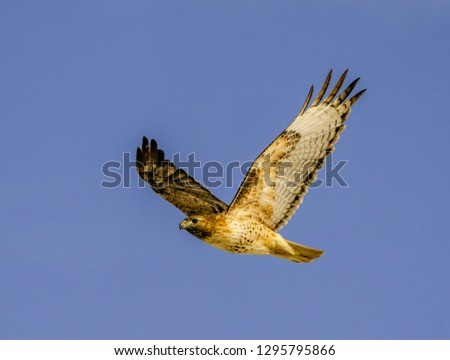 Red-Tailed Hawk in Flight Wings Up - A red-tailed hawk flies overhead and is photographed in the wings up position. Rocky Mountain Arsenal National Wildlife Refuge, Denver, Colorado. #1295795866