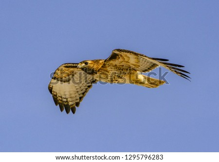 Red-Tailed Hawk in Glide - A red-tailed hawk glides overhead and is photographed in the wings outstretched, gliding position. Rocky Mountain Arsenal National Wildlife Refuge, Denver, Colorado. #1295796283