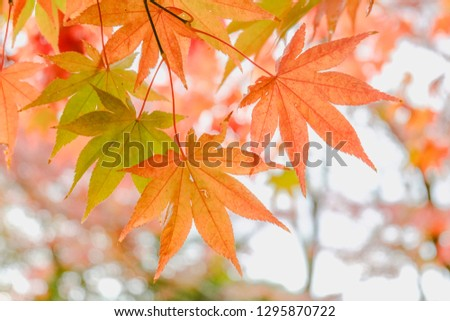 Maple leaves orange and green with blur background #1295870722