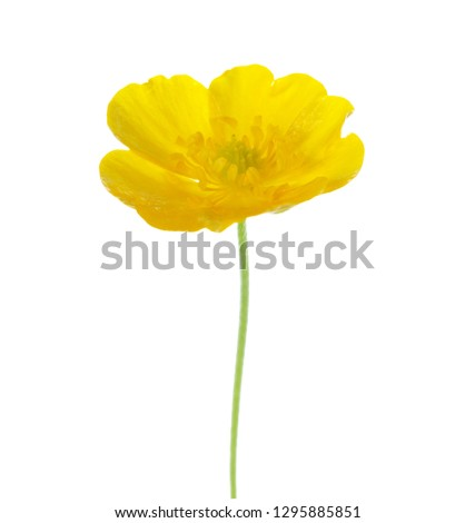 Yellow  Buttercup isolated on white background.  #1295885851