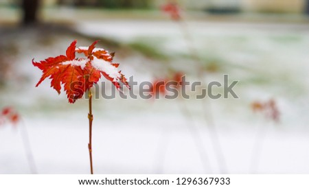 Beautiful branch with orange and yellow leaves in  winter under the snow. First snow, snow flakes fall, gentle blurred romantic light white background #1296367933