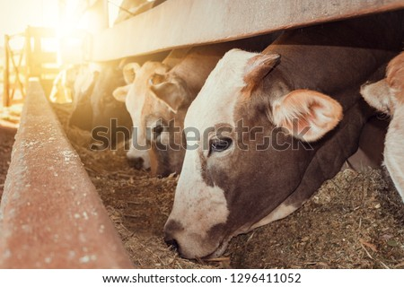 Cattle on confinement in farm on Brazil #1296411052