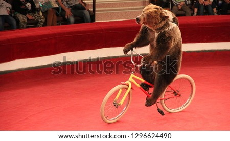 Trained bear driving on bicycle on circus ring. Bear riding bicycle in circus. Amusing bear riding bike around circus arena. Performance with trained bear in circus #1296624490