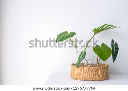 Collection of green leaves plant in glass vases in rattan wooden basket on wooden floor with white curtain background in natural light Royalty-Free Stock Photo #1296779704