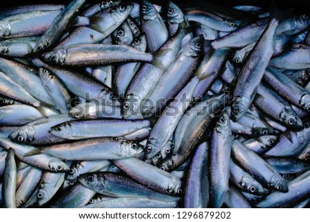 A Catch of Herring in San Francisco Bay Royalty-Free Stock Photo #1296879202