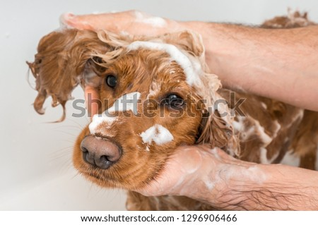 English cocker spaniel dog taking a shower with shampoo, soap and water in a bathtub #1296906466