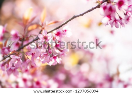 Pink cherry blossom, beautiful flowers in spring season #1297056094