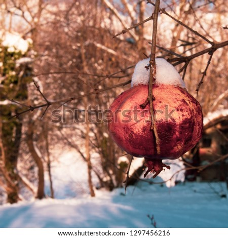 Square pic ready for social media use of pomegranates on the plant with snow; winter time
