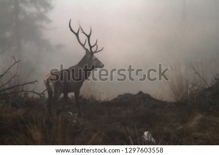 red deer stag in the wilderness of Carpathian mountains ( Cervus elaphus ); the animals are very shy and hard to photograph #1297603558