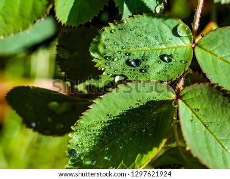 Water drops after rain on the leaves of plants #1297621924