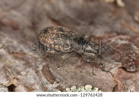 Brachyderus incanus on pine, macro photo #129762428