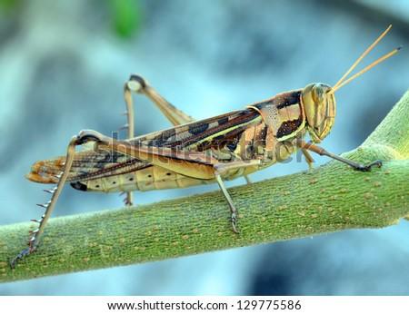 Wrinkled Grasshopper