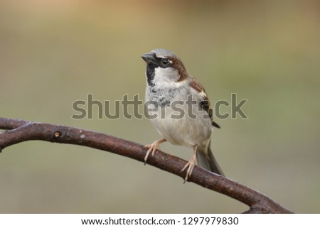 Passer domesticus perched on a branch #1297979830