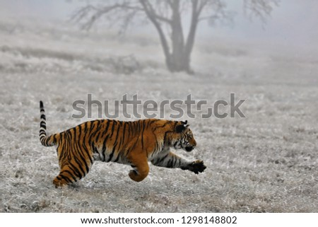 tiger in winter nature #1298148802