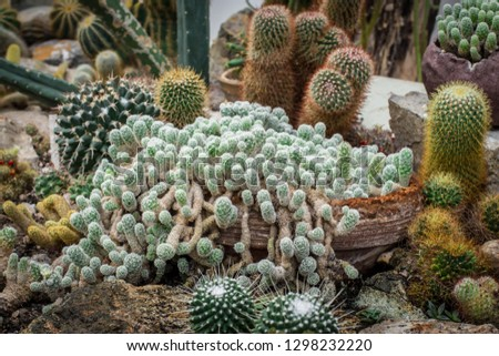 Aranged different cacti from genera Mammillaria  #1298232220