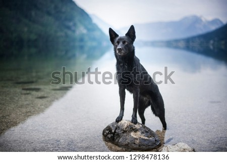 Australian Kelpie at the lake. Dog in nature between the mountains.  #1298478136