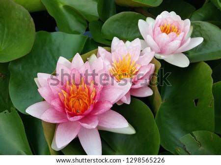3 step of pink lotus #1298565226