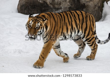 The Amur tiger #1298573833