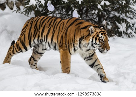 The Amur tiger #1298573836