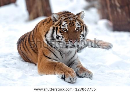Portrait of a Siberian Tiger #129869735