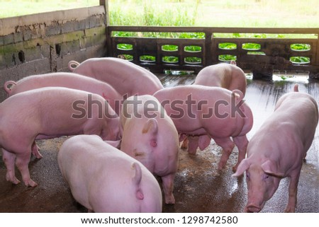 Breeders pink pigs on a farm in countryside, Farm pig concept #1298742580