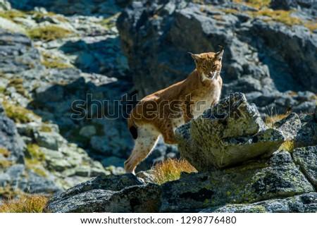 Lynx climbing rocks in mountain #1298776480