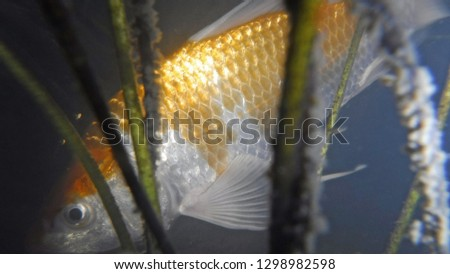 Beautiful bright golden and silver scales of carp fish #1298982598