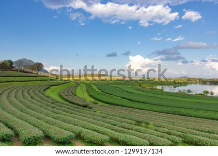 Landscape view of tea plantation with blue sky in afternoon, Nature background #1299197134