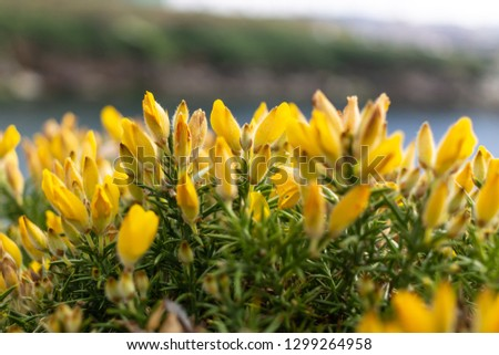 some gorse flowers #1299264958
