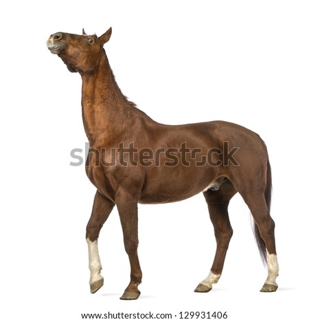 Horse stretching its neck up in front of white background #129931406