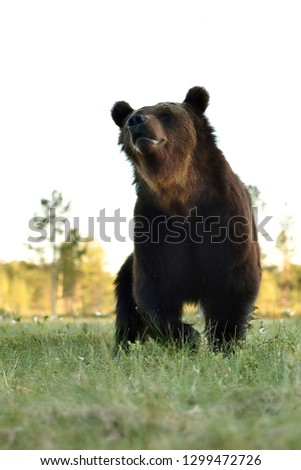 Brown bear low angle view. Bear close up. #1299472726
