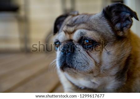 cute pug on a porch #1299617677