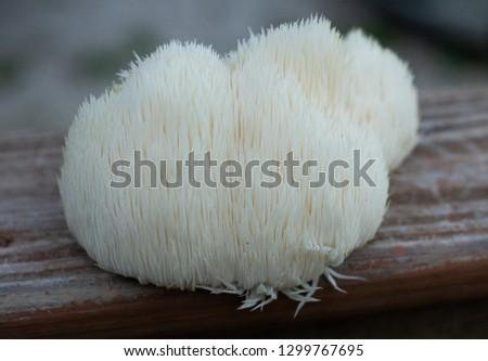 Lion's mane mushroom grown on a log. Royalty-Free Stock Photo #1299767695
