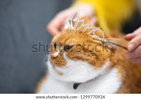 Portrait of red white Norwegian home cat with princess crown on head.