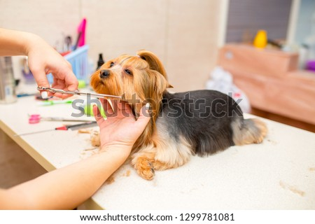 Grooming animals, grooming, drying and styling dogs, combing wool. Grooming master cuts and shaves, cares for a dog. Beautiful Yorkshire Terrier. #1299781081