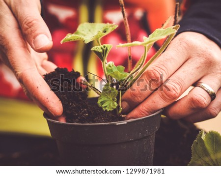 two hands planting a plant -  image shows how to propagate perennials - planting Alchemilla or ladys mantle using dirt or soil #1299871981