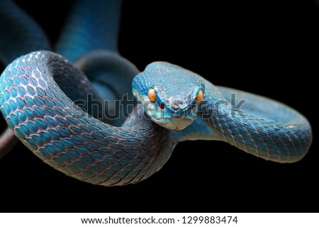 Blue viper snake on branch ready to attack prey, viper snake closeup face, blue insularis, Trimeresurus Insularis, snake with black background