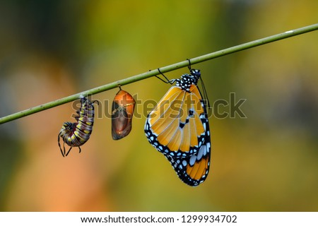 Amazing moment ,Monarch butterfly and caterpillar and chrysalis #1299934702