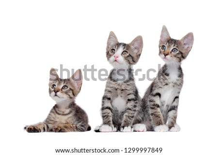 Tabby kittens against white background looking to the copy space area #1299997849