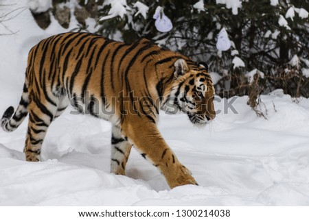 Amur tiger in the snow #1300214038
