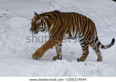 Amur tiger in the snow #1300214044