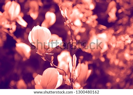 Duotone effect coral and ultraviolet for toning photos with flowers. concept #1300480162