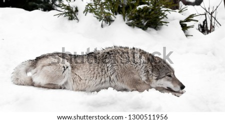 The wolf (female wolf) lies thoughtfully stretched out on the snow. wolves in winter.