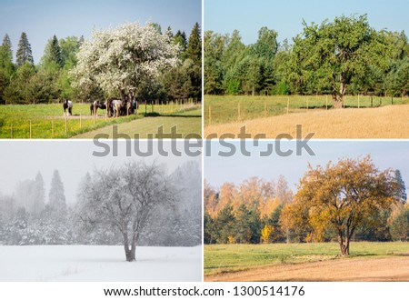 Beautiful collage of 4 seasons different pictures of an apple tree on field, same spot, place. White spring blossoms, green fresh bright summer day, yellow autumn leaves, snowstorm in winter.