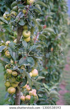 Bunch of ripening apples in a garden #1300538593