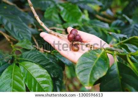 Touch the fresh coffee beans in the garden, Arabica coffee, Picking coffee bean from coffee tree. #1300596613